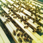 some Honey Bees